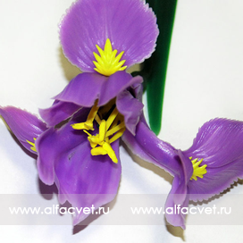 Самара цветы ирис